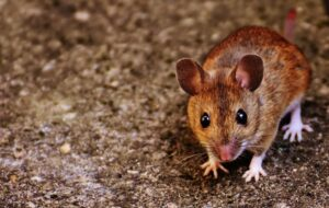 Here's how to solve a mice problem at home